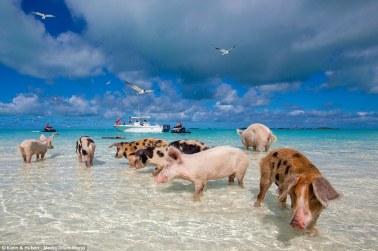 Bahamas2_pigs